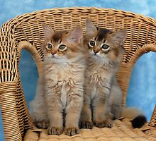 somali kittens on a wicker chair by sarahnewton