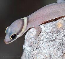 Oedura jawolbina by Faunagraph