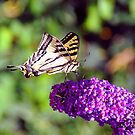 Swallowtail Butterfly by Walt Conklin