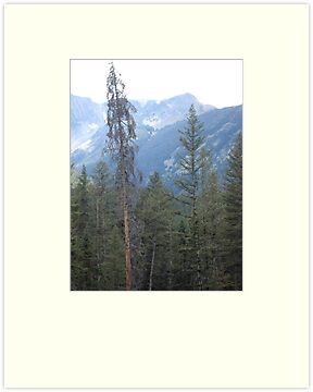 Lodgepole Pine by May Lattanzio