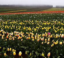 Tulips in the rain - Tasmania by Paul Gilbert
