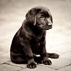 Black Labrador Puppy by kristinagav