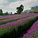 Lavender Farm Daylesford Victoria by Joe Mortelliti