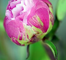 Rosebud by Renee Hubbard Fine Art Photography