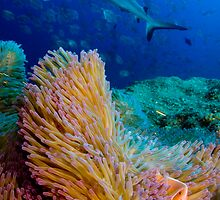 Shark and anemone fish by Carlos Villoch