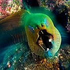 Moray eel by Carlos Villoch