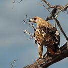 Tawny eagle by Paulo van Breugel