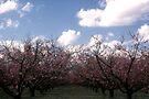 Peach orchard by Larry  Grayam