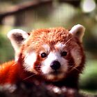 Red Panda by Ben Luck