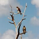 PAIR OF REDTAIL HAWKS by TomBaumker