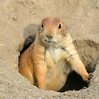 prairie dog by gallofoto