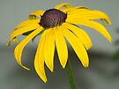 A Black-eyed Susan up close and personal. by William Brennan