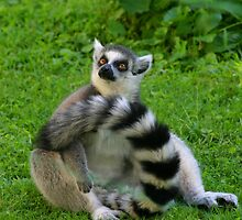 lemur by gallofoto