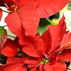 poinsettia by Deweyreg