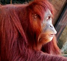 Orangutans- People of the Forest by Tom Newman