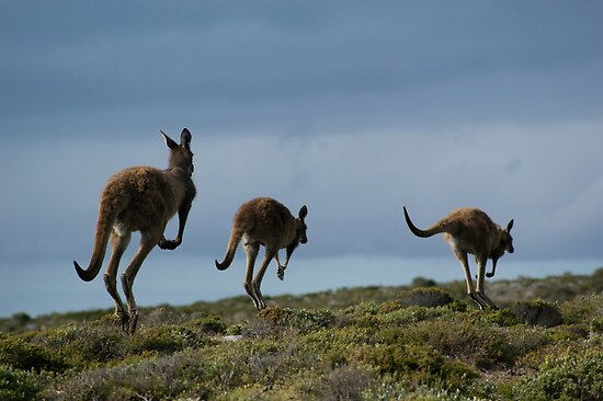 Powerful Kangaroos Bound Through The Wilderness by wilderness