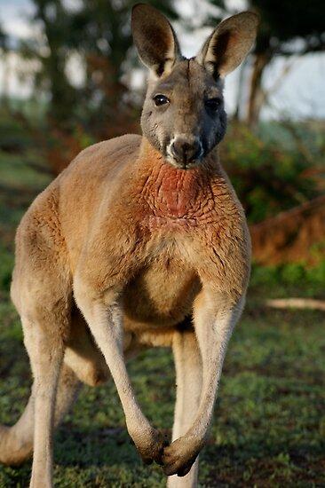 Powerful Red Kangaroo by wilderness