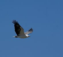 White Bellied Sea Eagle in Flight by wilderness