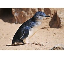 Fairy Penguin Photographic Print