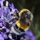 Hairy bee by relayer51