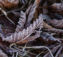 Frosted leaves by Jean Knowles