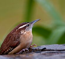Rainy Day Wren by Bonnie T.  Barry
