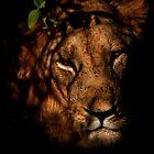 Masai Mara Lion by StuartGLoch