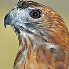 Red Tail Hawk by Jeff Ore