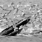 Humpback Whale and Calf - Florida by Kent DuFault