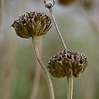 Flower seed-heads by Themossgirl