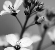 B&W flower #7 by Régis Charpentier