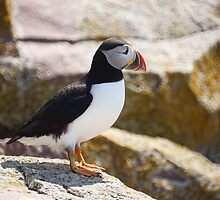 Atlantic Puffin by Jean Knowles