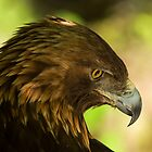 Golden Eagle Deep in Thought by dstorm31