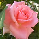 Small fragrant rose by Ana Belaj