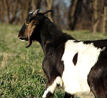 Kalvin the Nubian Billy Goat by angelandspot
