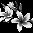Black and White Frangipani by Helen Martikainen