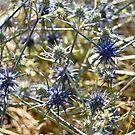 Blue Devil, Geelong Botanic Gardens by Leanne Nelson