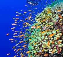 Colorful anthias and a diver over a reef by Aziz T. Saltik