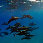 A school of bottlenose dolphins in Sataya Reef by Aziz T. Saltik