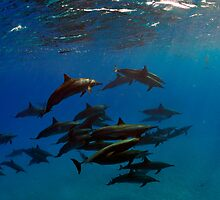 A school of bottlenose dolphins in Sataya Reef by Aziz T. Saltık