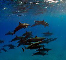 A school of bottlenose dolphins in Sataya Reef by Aziz T. Saltik