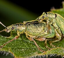 Weevils mating by Gabor Pozsgai