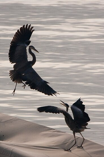 Herons of Lake Como by Neil Buchan-Grant