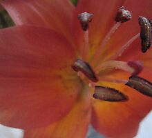 Nectarine Lily beckons... by MarianBendeth