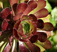 Aeonium ... I think!?! by Michelle Cocking
