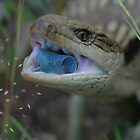 Common/Eastern Blue-tongue Skink /  Tiliqua scincoides by John Martin