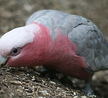 Great Guzzling Galah by ellismorleyphto