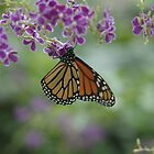 Monarch butterfly #2 / Danaus plexippus by John Martin