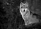 Lone Wolf by Scott Denny