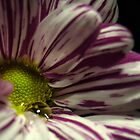 Chrisanthemum 3 by FotosdaMau
